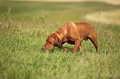 stock photo of vizsla  - Vizsla hunting dog tracking in field with nose on the ground - JPG