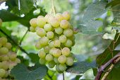 Ripe Grapes Bunch Hangs On Branch In Vineyard.. poster