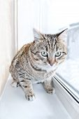 Tabby Male Cat Looking With Distrust, Warily And A Little Scared. Cat Looks Into The Lens. Portrait  poster