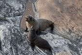 New Zealand Fur Seal, Arctocephalus Forsteri, Long-nosed Fur Seal With Its Baby Puppy. Australasian  poster