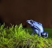 blue poison dart frog of amazon rainforest in jungle terrarium tropical exotic poisonous toxic pet a