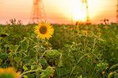 Sunflowers Garden. Sunflowers Have Abundant Health Benefits. Sunflower Oil Improves Skin Health And poster