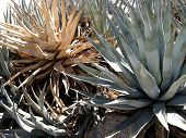 pic of anza  - yucca plants on anza borrego desert in southern california - JPG