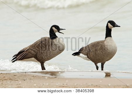 Pair Of Canada Geese On A Beach