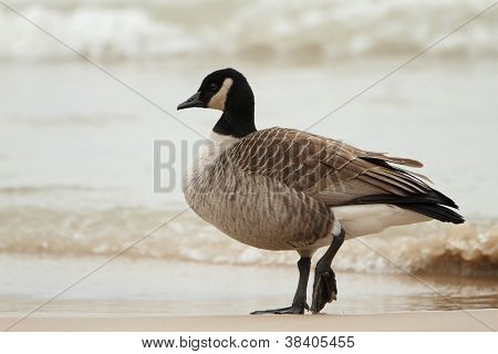 Canada Goose Standing On A Beach