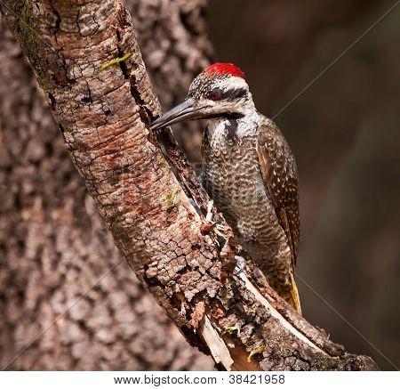 Bearded Woodpecker Sitting On A Branch