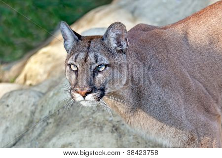 Head Shot Of Beautiful Puma In Afternoon Sun