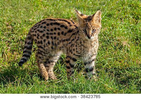 Cute Serval Kitten Standing On Grass