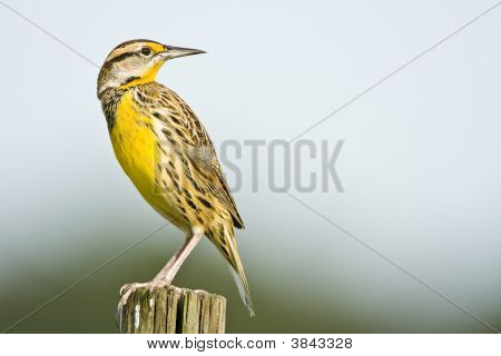 A Meadowlark Looks Over His Shoulder