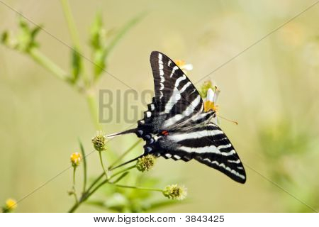 Zebra Swallowtail Butterfly Perched On A Flower Drinking Nector