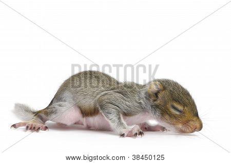Baby Gray Squirrel - Sciurus Carolinensis
