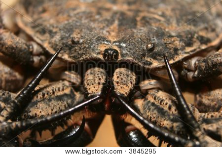 Tailless Whip Scorpion Close-Up