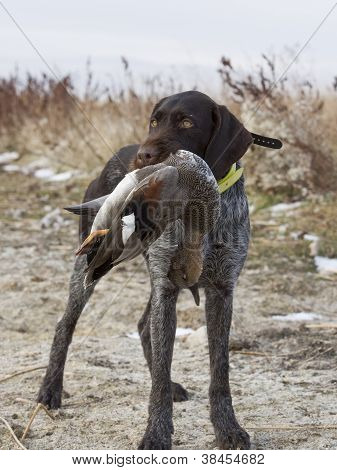 German Wirehair with Duck