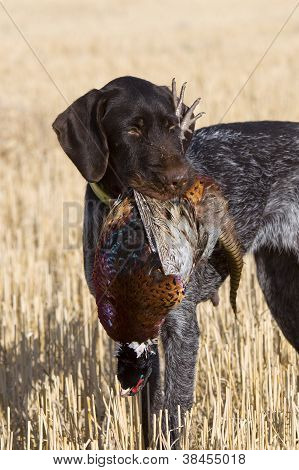 Drahthaar Hunting dog and Pheasant