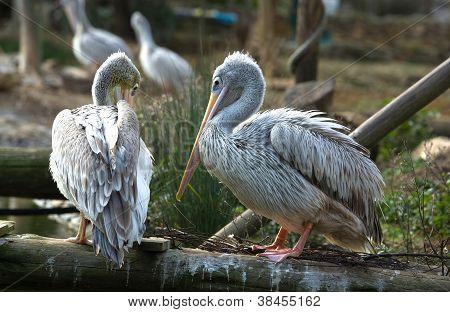 Pink-backed Pelican Ii