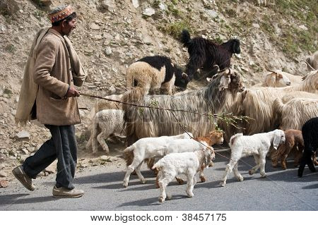 Himalayan Shepherd From Lahoul Valley Leads His Goat And Sheep