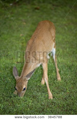 Comer Fawn