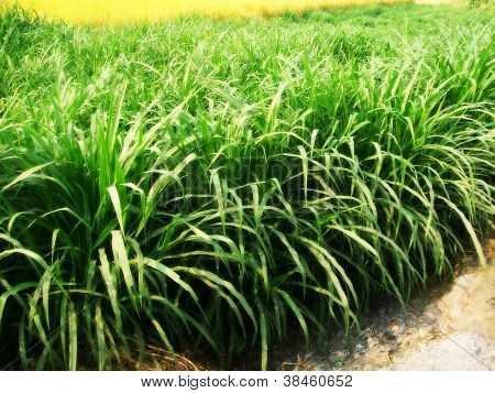 indian fodder crop