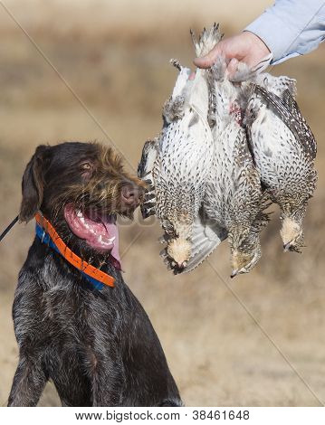 Hunting Dog and Grouse