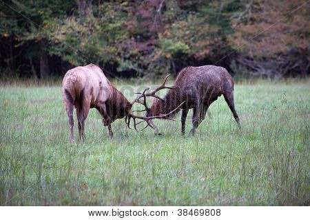 Americana Elk combate
