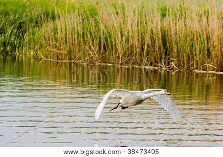 One Swan Flying