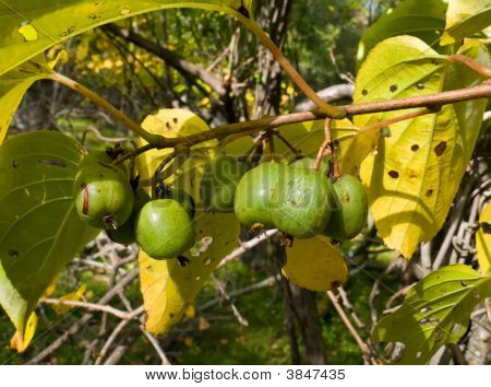 Far-Eastern Berries