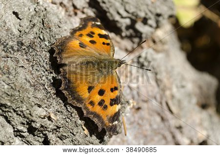 Butterfly Ordinary Urticaria Sits On A Birch