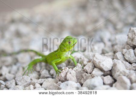 Iguana verde bebê