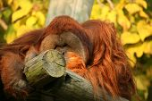 image of memphis tennessee  - An Orangutan at the MEmphis Tennessee zoo.
