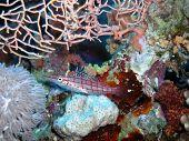 pic of hawkfish  - Longnose hawkfish in Red Sea  background - JPG