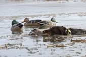 stock photo of gadwall  - Hunting Duck with a drake Mallard in icy waters - JPG