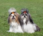 image of dog breed shih-tzu  - Portrait Of Two Dogs Breed Shih Tzu on green grass - JPG