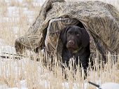 stock photo of duck-hunting  - Duck hunting dog hiding in a blind - JPG