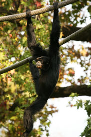 stock photo of tarzan  - A chimpanzee at the Memphis Tennessee zoo - JPG