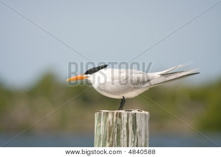 An Adult Royal Tern In Non-breeding Plumage
