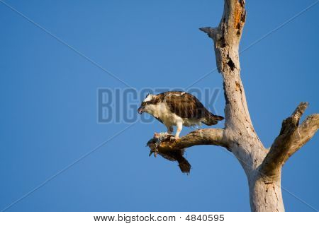 An Osprey Having A Breakfast Of Flounder