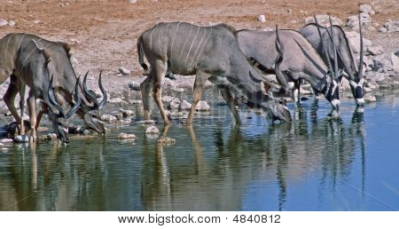 África-kudu e Oryx