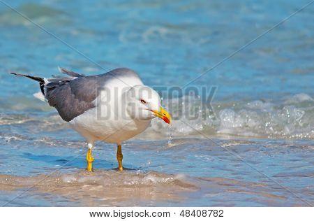 Drinking Seagull