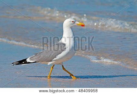 Snobbish Seagull