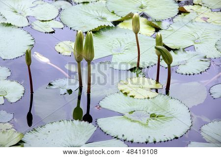 Lotus Not Bloom In The Pond.
