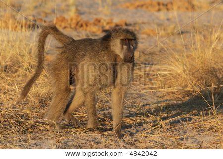 Savanna Baboon (papio Cynocephalus Ursinus)