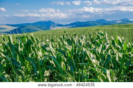 Cornfields And Mountains