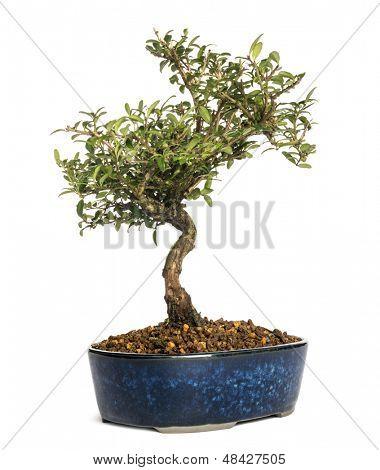 Honeysuckle bonsai tree, Lonicera caprifolium, isolated on white