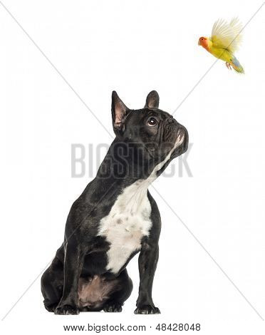 French Bulldog sitting, looking up at a flying lovebird, isolated on white