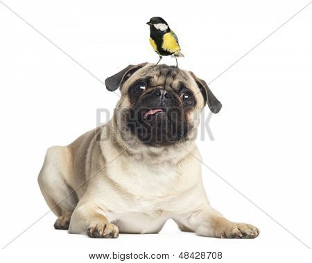 Pug, lying with a great tit on the head, isolated on white