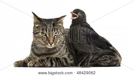 Western Jackdaw tweeting next to a cat, isolated on white