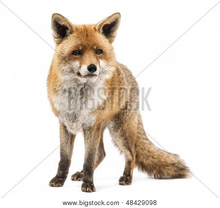 Rotfuchs, Vulpes Vulpes, stehen, isolated on white