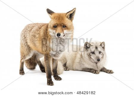 Red Fox, Vulpes vulpes, standing and Arctic Fox, Vulpes lagopus, lying, isolated on white