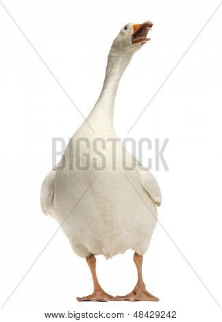 Domestic goose, Anser anser domesticus, standing and looking up, isolated on white