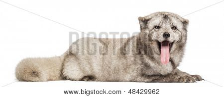 Arctic fox, Vulpes lagopus, also known as the white fox, polar fox or snow fox, lying, panting, isolated on white